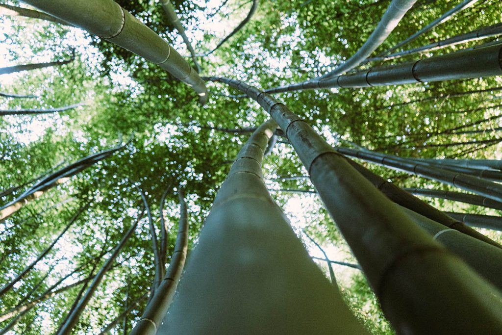 Green Gold - Huge green bamboo canes in a bamboo forest