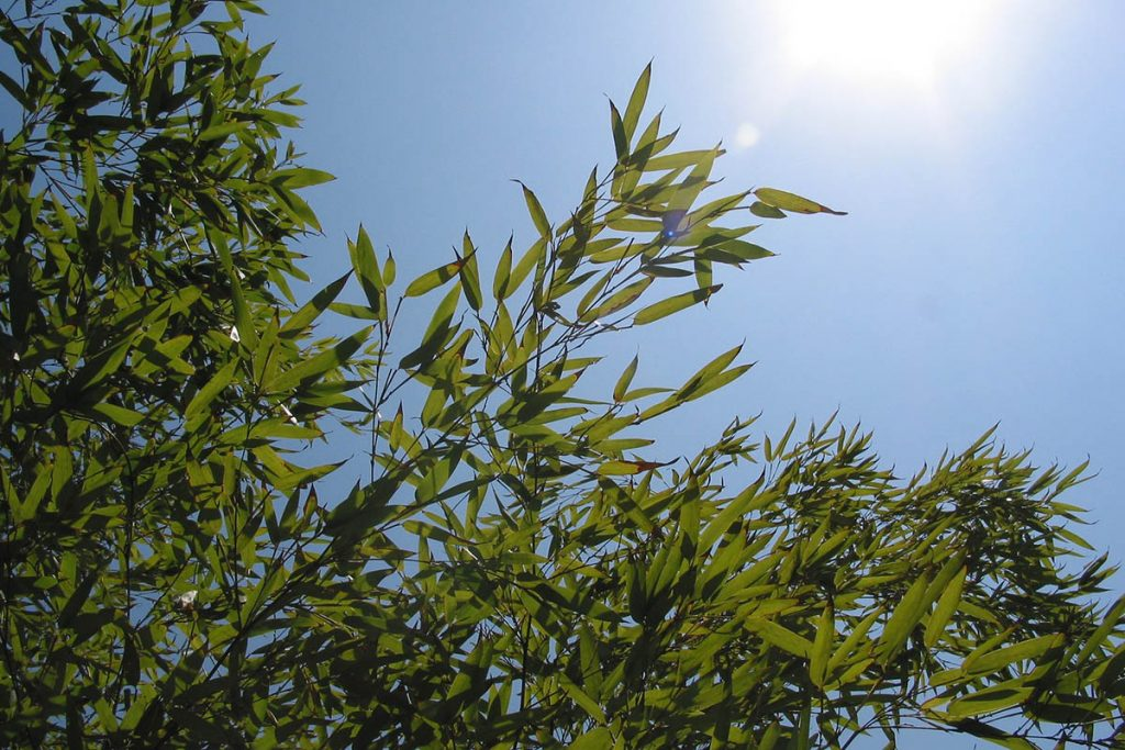Healthy green bamboo leaves with the sunny sky in the background