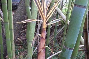 Smooth green bamboo culms and a shoot - Phyllostachys bambusoides Slender Crookstem
