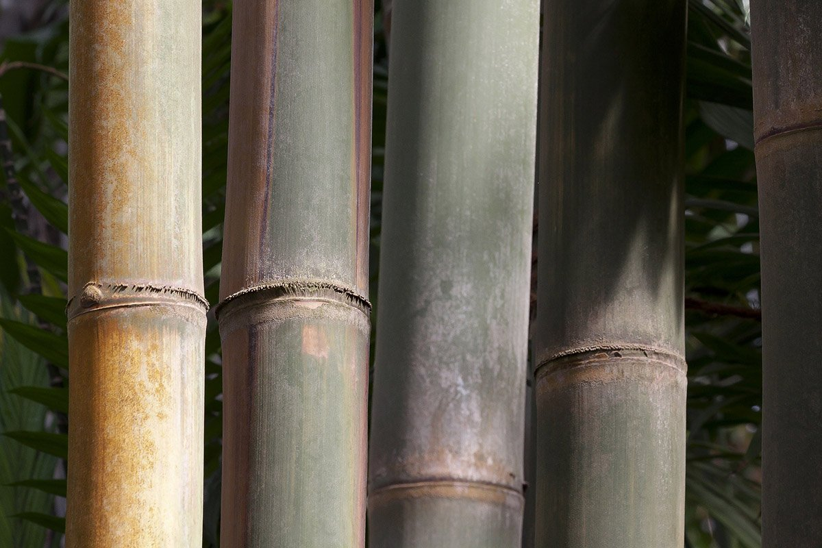 Culms of the Dendrocalamus Giganteus bamboo variety as an example for tall bamboo