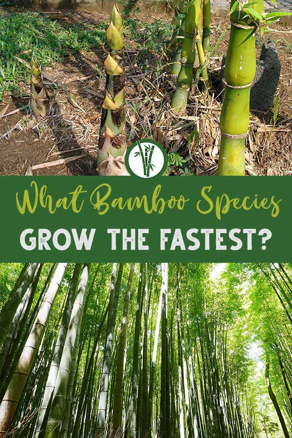fastest-growing bamboo species