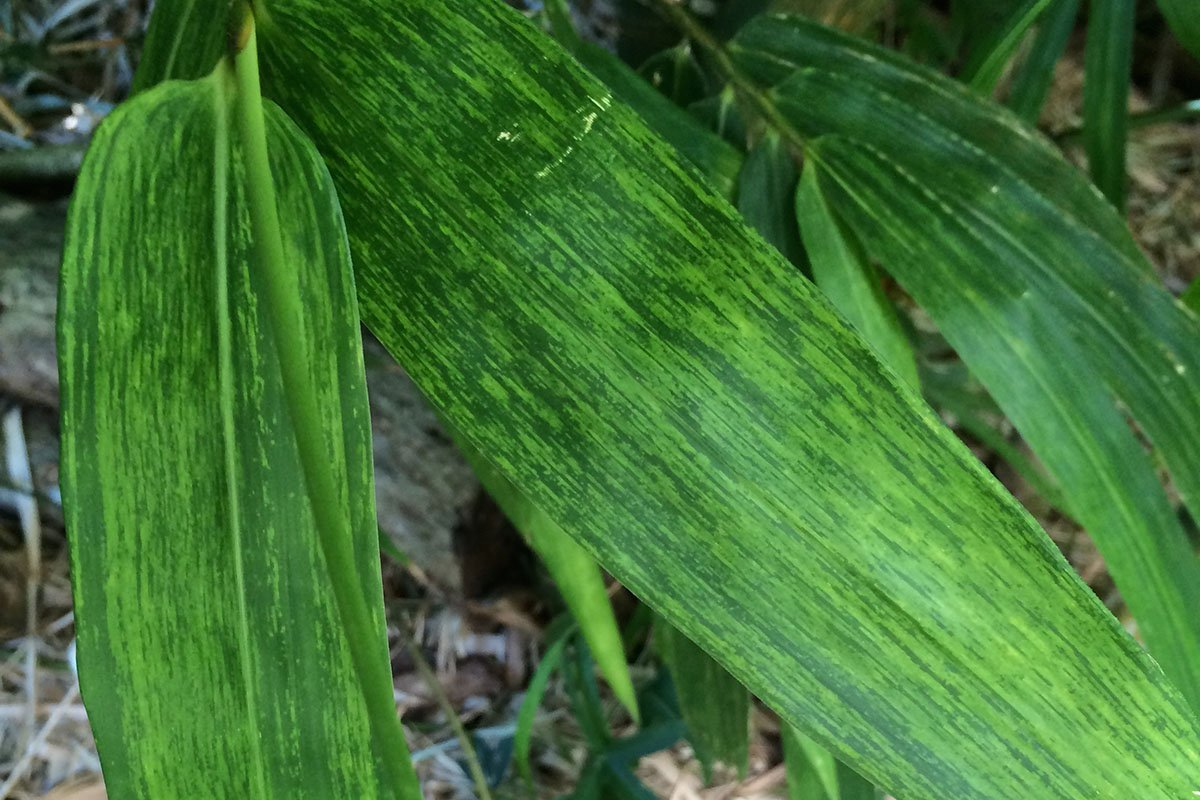 Mosaic-like discoloration on bamboo leaves caused by BaMV