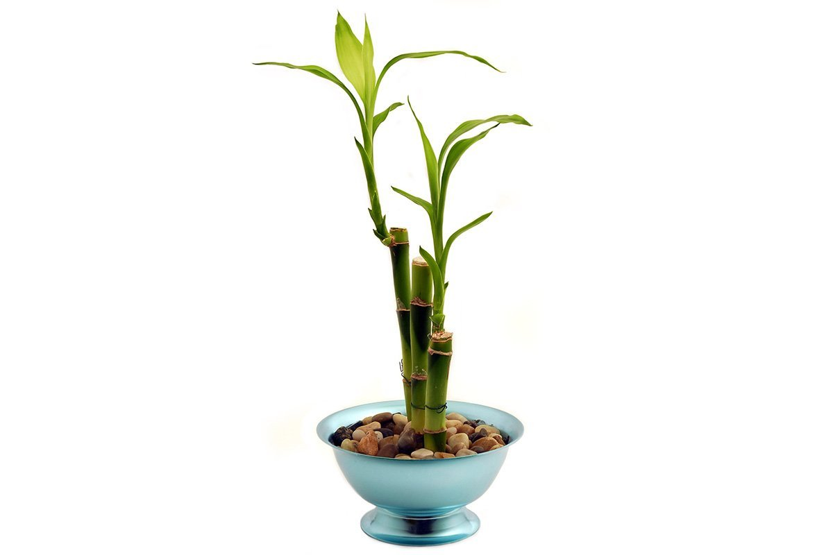 Three stalks lucky bamboo plant planted in pebbles