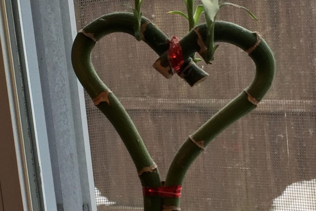 Two Lucky Bamboo stalks that have been shaped into a heart