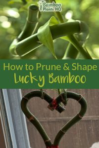 Spiral Lucky Bamboo and heart-shaped Lucky Bamboo with the text: How to Prune & Shape Lucky Bamboo