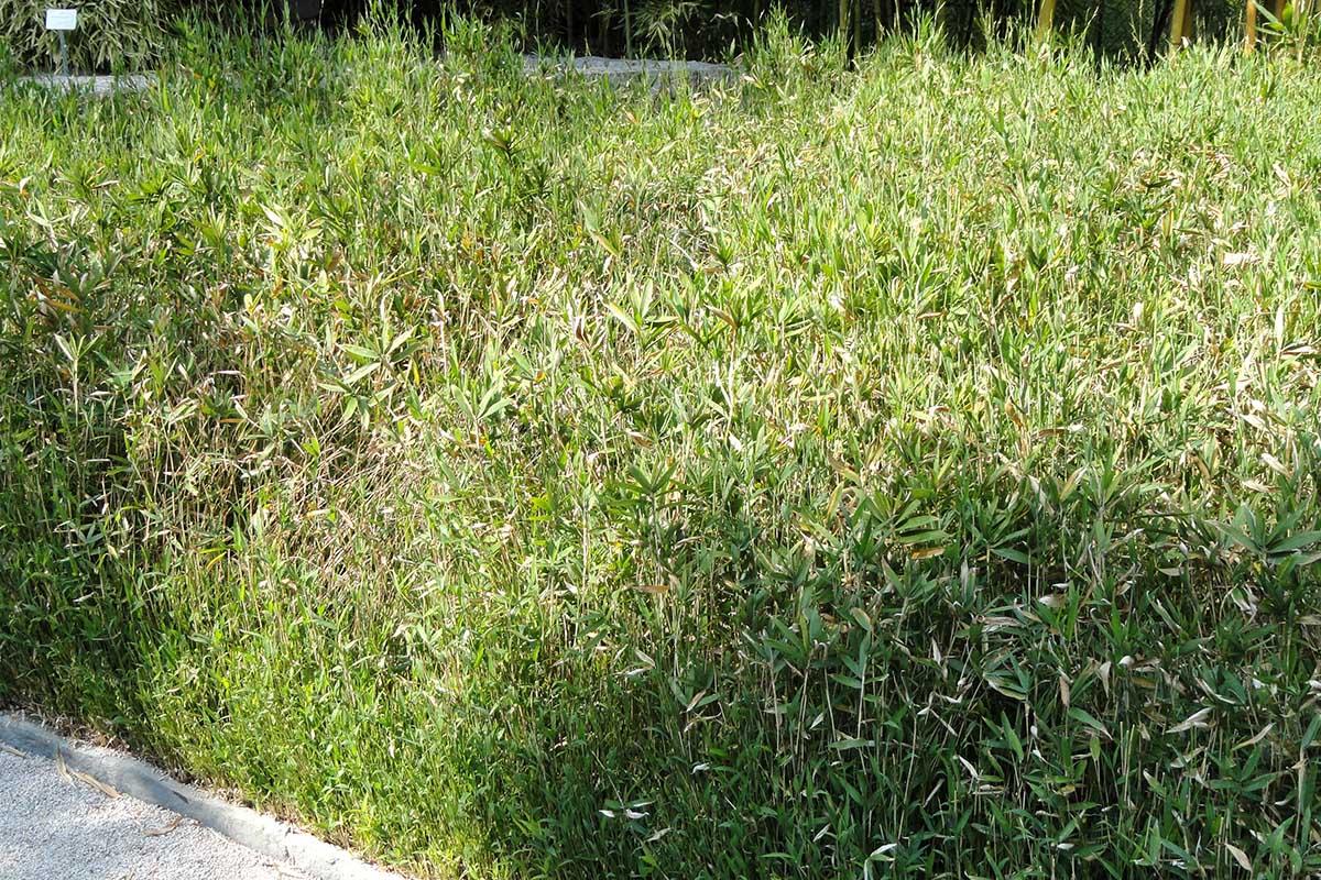 Densely grown Pleiblastus Pygmaeus Bamboo in a garden