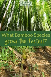 Bamboo forest at the top and bamboo shoot at the bottom with the text in the middle: What bamboo species grows the fastest?