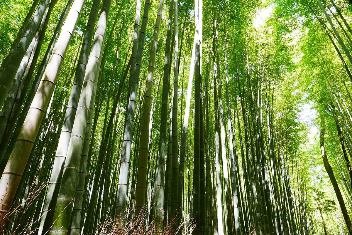 Tall timber Moso Bamboo forest