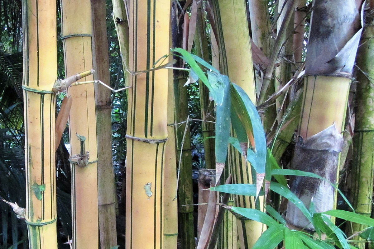 Yellow bamboo culms of the Phyllostachys Viridis with green stripes