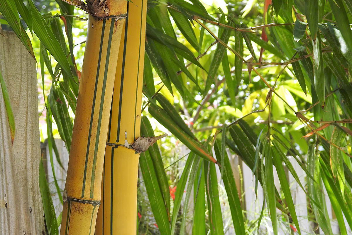Greenstripe Vivax - Yellow culms with green stripes - is one of the fastest-growing bamboo species