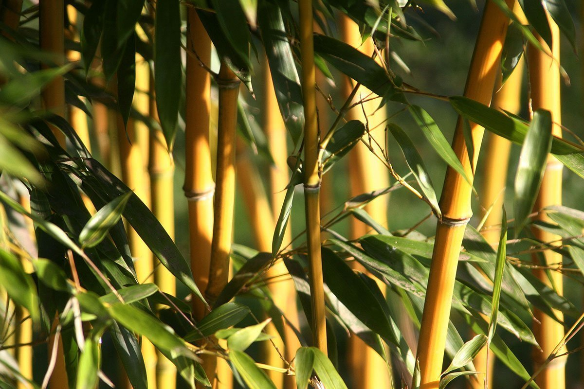 Golden Bamboo culms with dark green leaves