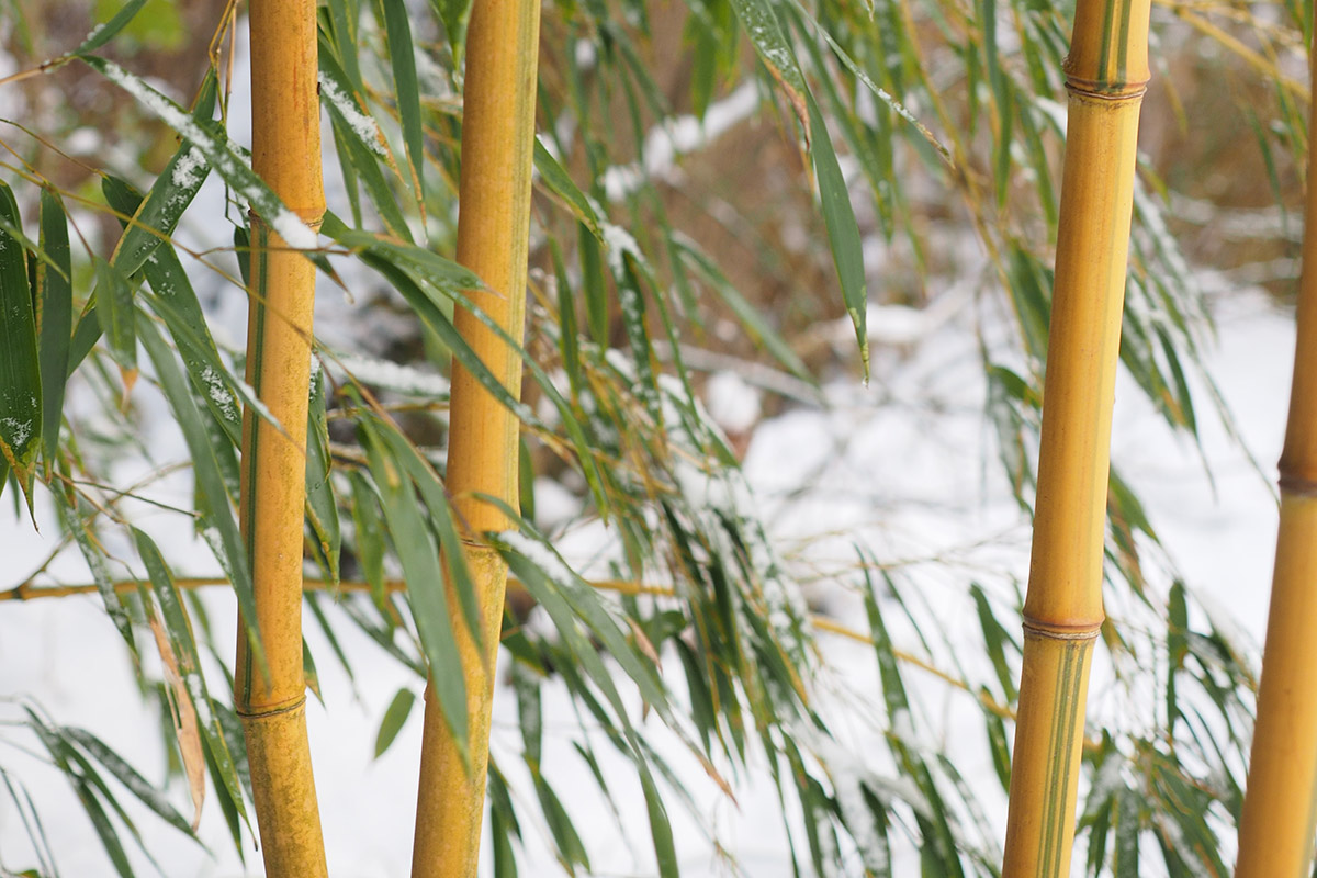 Yellow bamboo culms with green leaves in winter