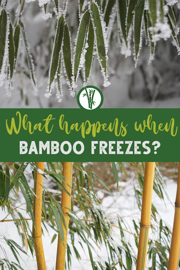Frosty bamboo leaves and bamboo plants with the text: What happens when bamboo freezes?