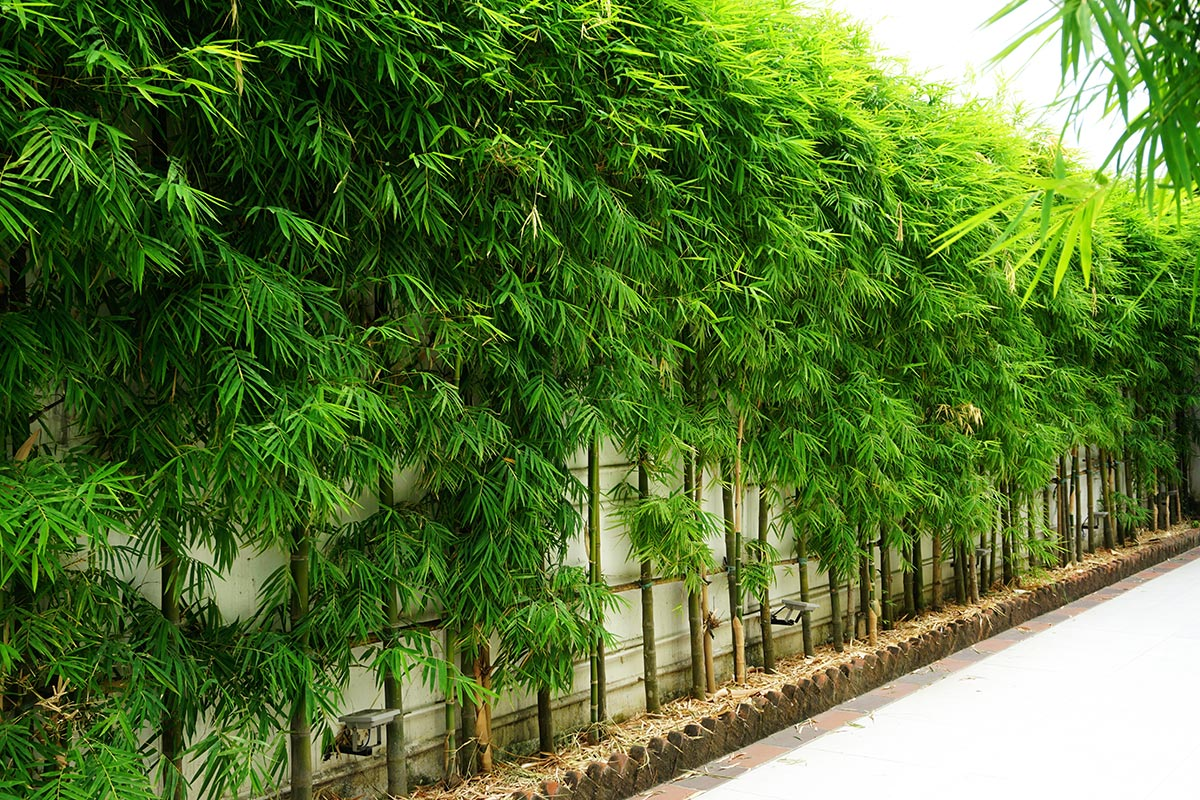 Bamboo along a wall for privacy