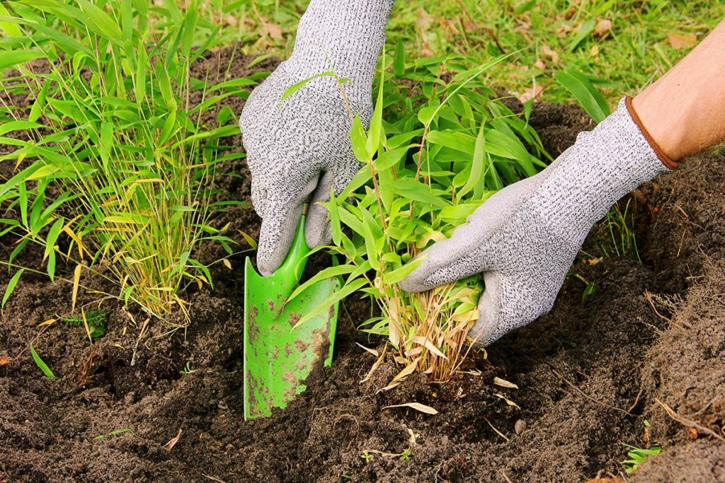 Hands with garden gloves holding a shovel and a bamboo plant while planting bamboo in the ground