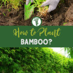 Photo planting bamboo and a privacy screen made of bamboo with the text: How to Plant Bamboo