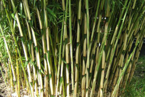 Green thin bamboo culms with white sheaths