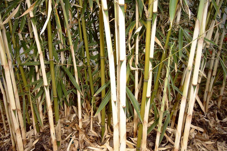 Green and light green bamboo culms with and without white sheaths, some already fell to the ground