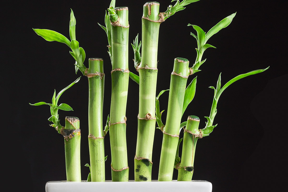 Lucky bamboo plant with black spots and black background