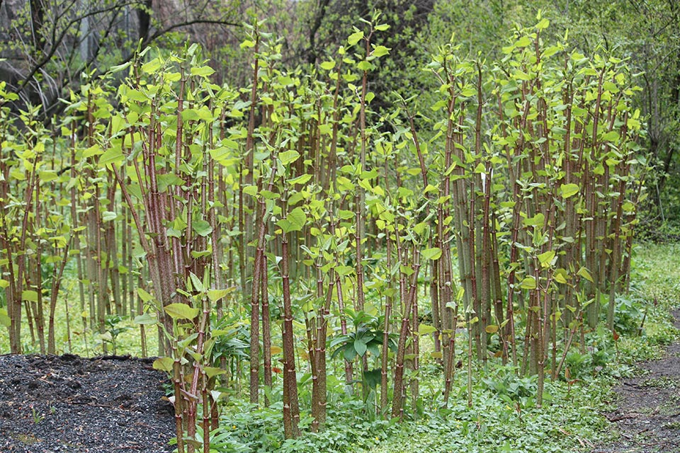 Brown stems of Japanese Knotweed look like bamboo with heart-shaped leaves