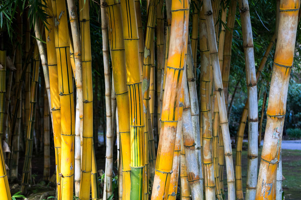 Bleached bamboo plants with yellow stems and white areas