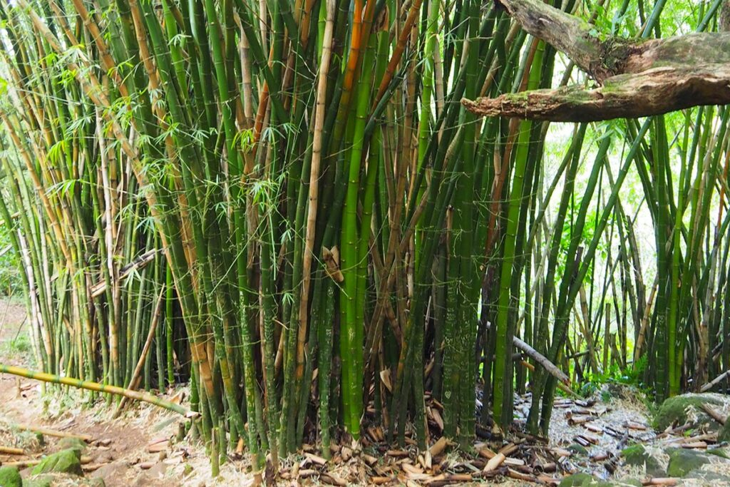 Bamboo plants with green and dead culms ready to be pruned