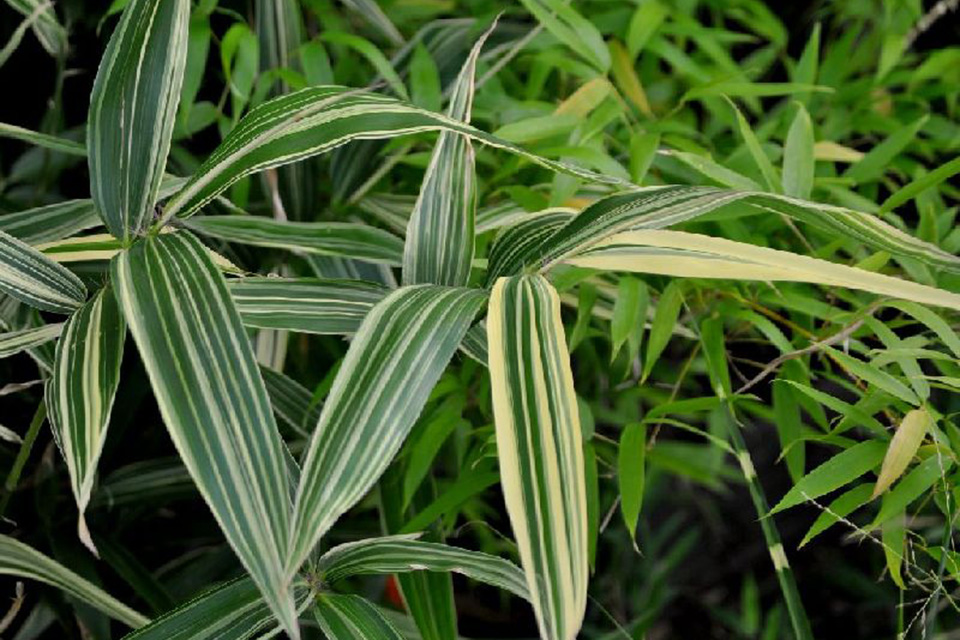 Large striped bamboo leaves of the Hibanobambusa tranquillans variety
