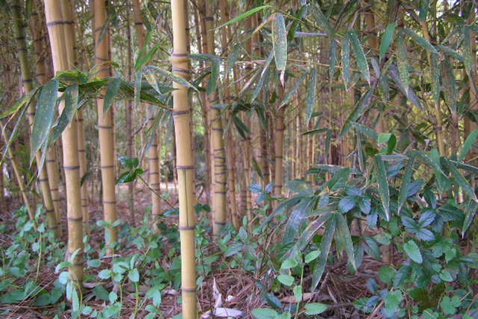 Golden bamboo stems with irregular nodes and dark green leaves - Phyllostachys aurea Holochrysa