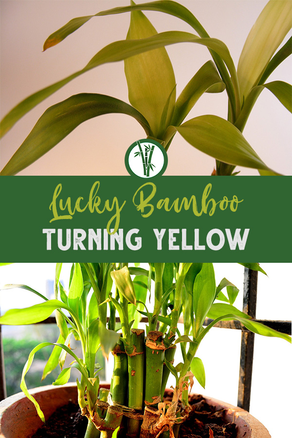 Yellow leaves of Lucky Bamboo and an unhealthy houseplant with the text: Lucky Bamboo Turning Yellow