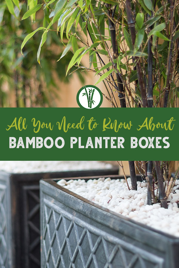 Bamboo in a black planter box with white pebbles on top with the text: All you need to know about Bamboo Planter Boxes