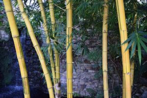 Few yellow color bamboo tress infront of a man-made concrete and stone wall with a small waterfall from the side