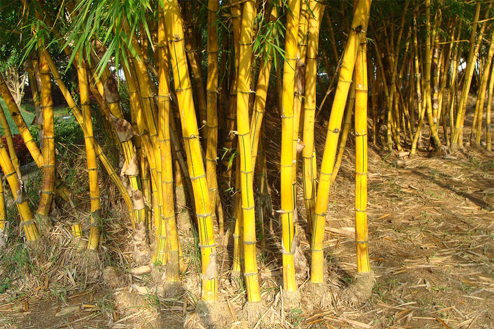 Groups of separate clumps of golden bamboo