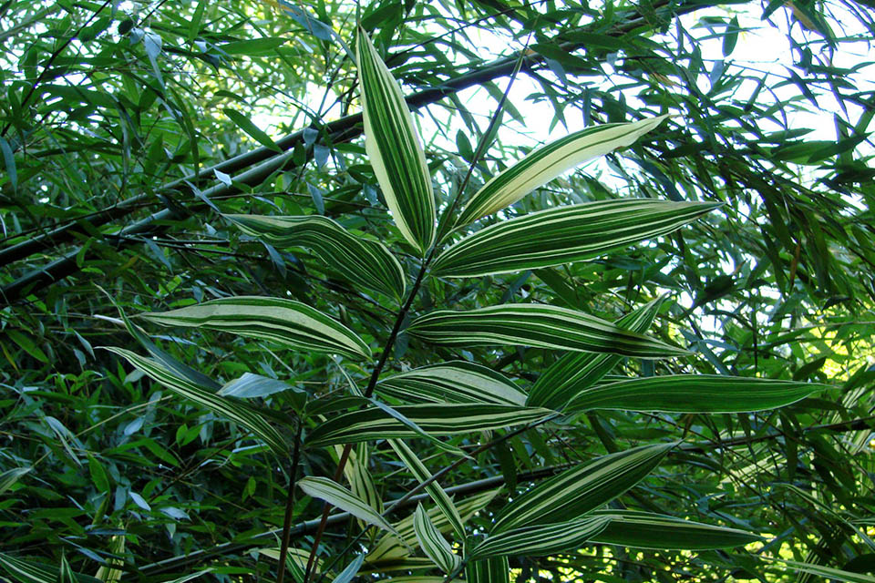 Hibanobambusa tranquillans bamboo leaves
