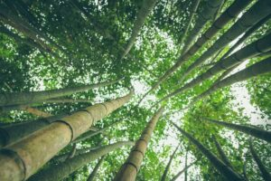 Tall Bamboo trees growing towards the sky