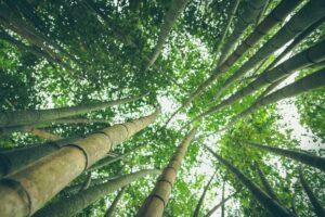 Tall Bamboo trees growing towards the sky