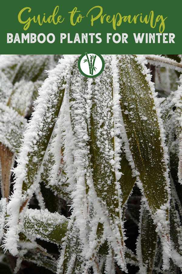Bamboo leaves freezing in winter with the text on top: Guide to Preparing Bamboo Plants for Winter