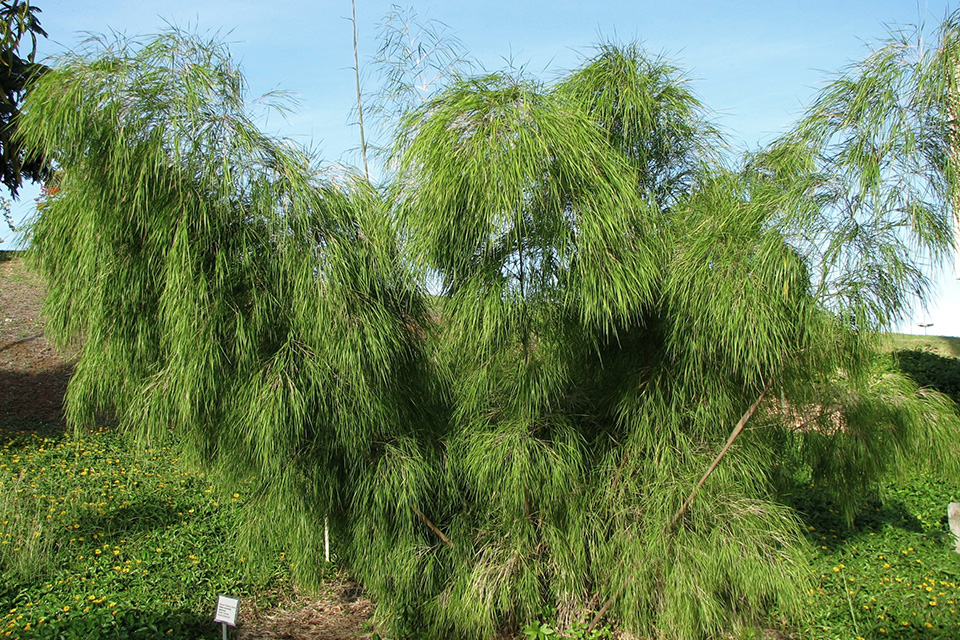 Picture of mexican weeping bamboo with a lot of green leaves.