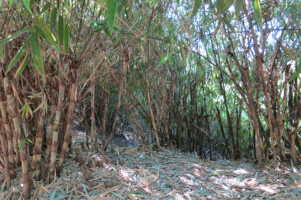 Group of bamboo trees in a jungle environment with the bamboo type: Oxytenanthera Abyssinica