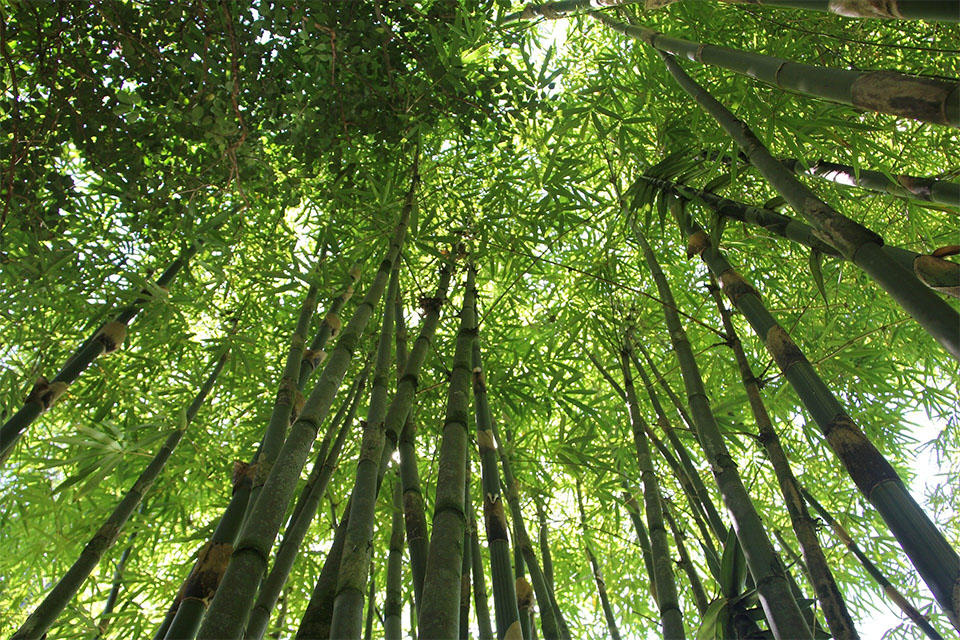 Tropical tall bamboo trees in a forest.