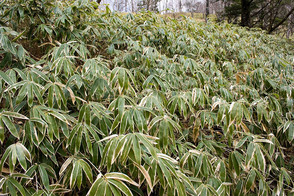 Broad-leafed Sasa veitchii bamboo that is used for bamboo tea
