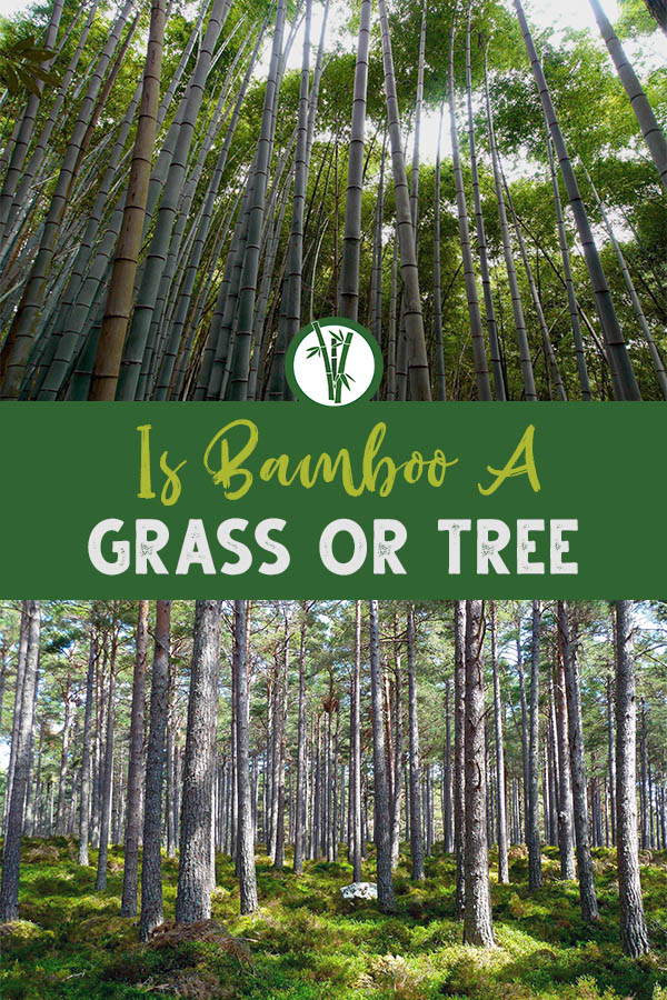 Bamboo forest at the top and tree forest at the bottom with the text in the middle: Is bamboo a grass or tree?