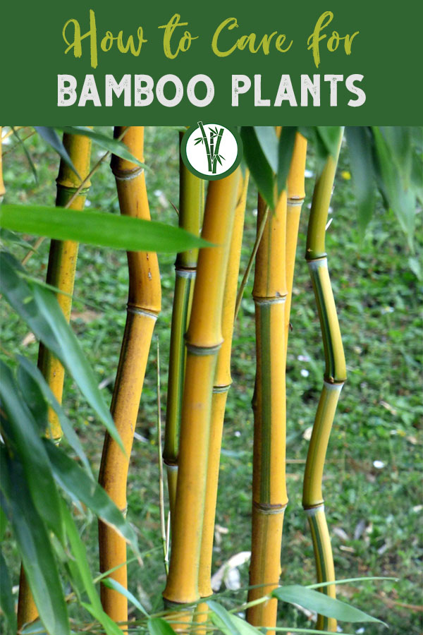 Yellow bamboo in a garden with the text on top: How to care for bamboo plants