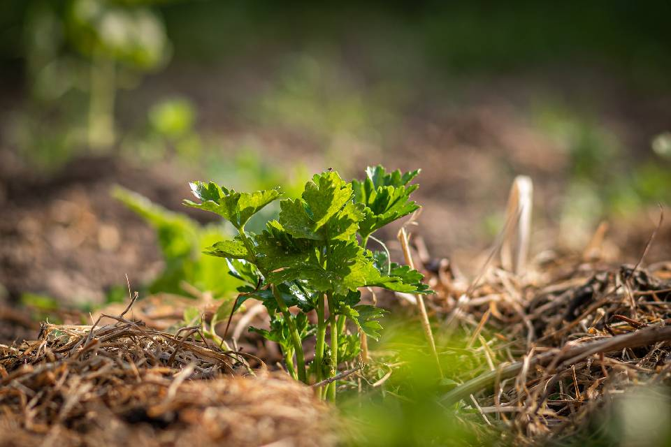 Celery plant covered with mulch