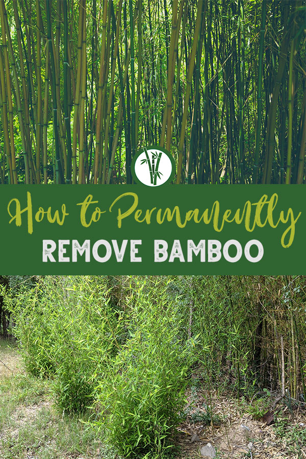 Tall bamboo plants on top and young bamboo at the bottom with the text in the middle: How to Permanently Remove Bamboo