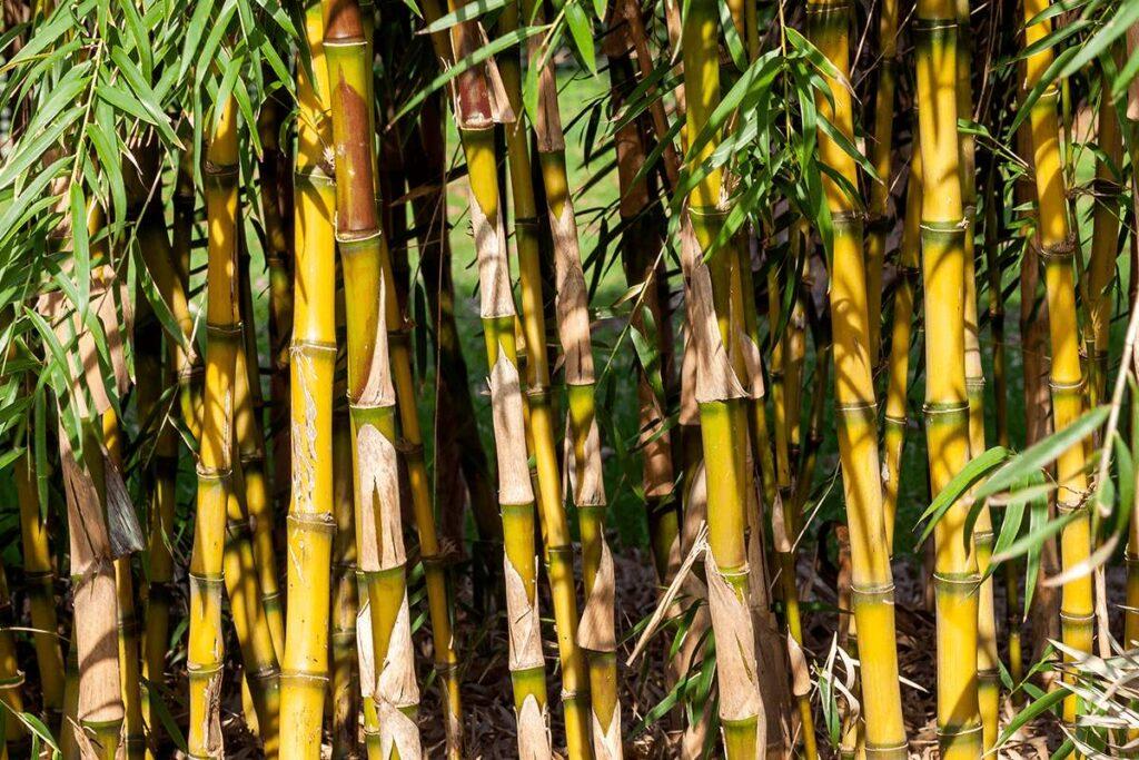 Light green to yellow stems of the Chusquea gigantea bamboo species