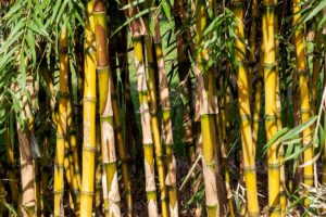 Light green to yellow stems of the Chusquea gigantea bamboo species