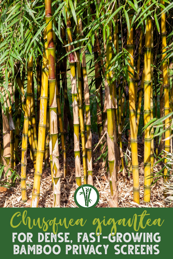 You wanted a huge bamboo? Chusquea gigantean is a potentially very valuable and big bamboo. This plant can be one of the most spectacular looking solitary specimens due to its bushy appearance. This species is wind-resistant and very valuable for its beautiful, solid canes. Find out more about this bamboo here!