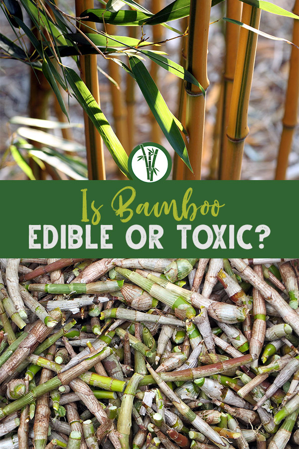 Bamboo stems and shoots with the text: Is bamboo edible or toxic?