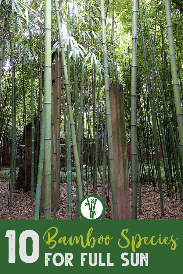 Tall stems of Phyllostachys angusta with the text: 10 Bamboo Species for full sun