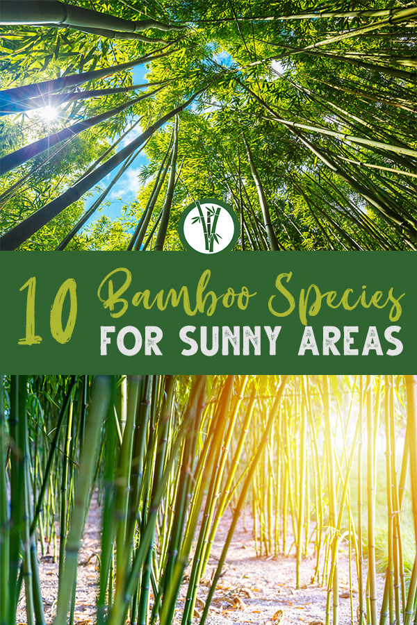 Bamboo growing in full sun with the text: 10 Bamboo Species for sunny areas